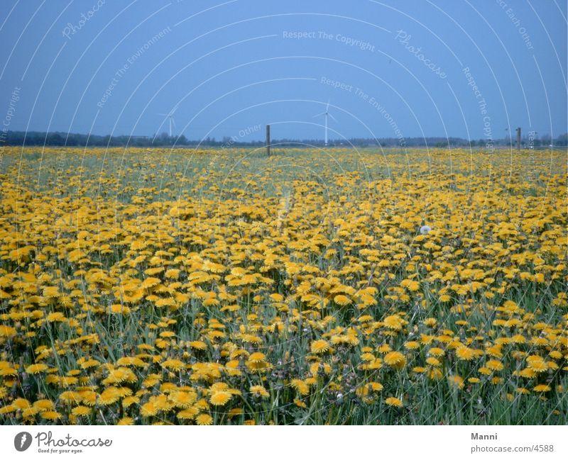 meadow Meadow Dandelion