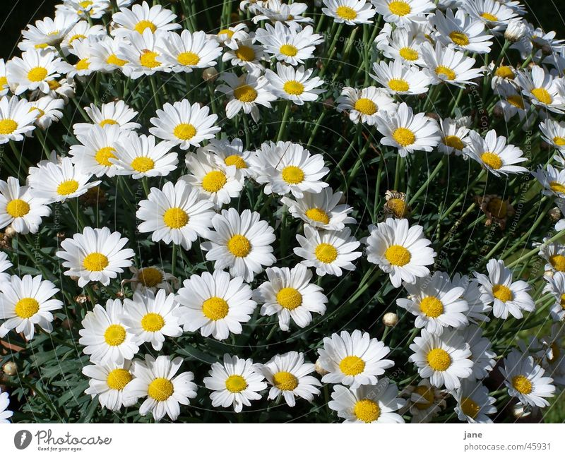 a sea of magarites Plant Flower Dream Exterior shot Bright Joy Marguerite