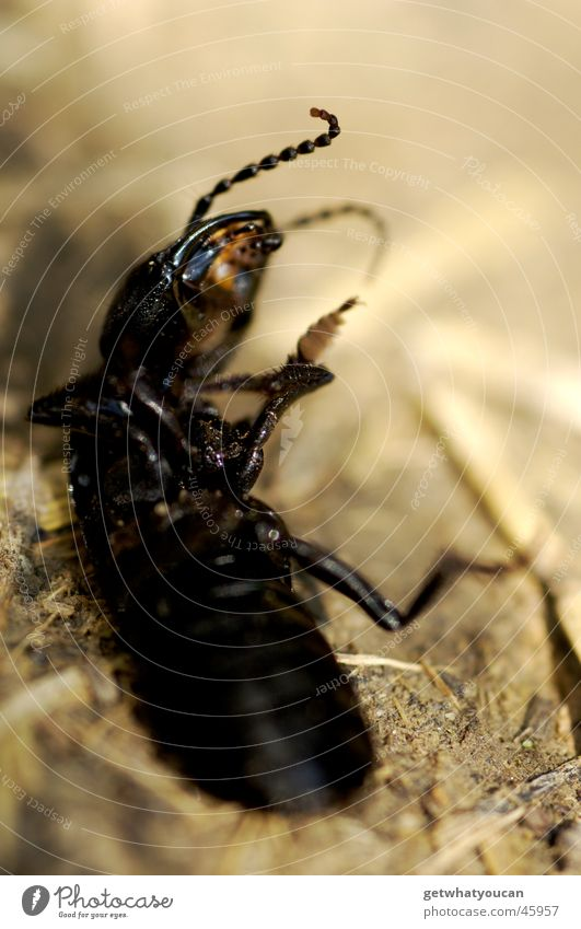 breakdancing Insect Animal Feeler Disgust Black Blur Straw Beetle Macro (Extreme close-up) Death Back Stomach Floor covering Legs Dirty Compassion