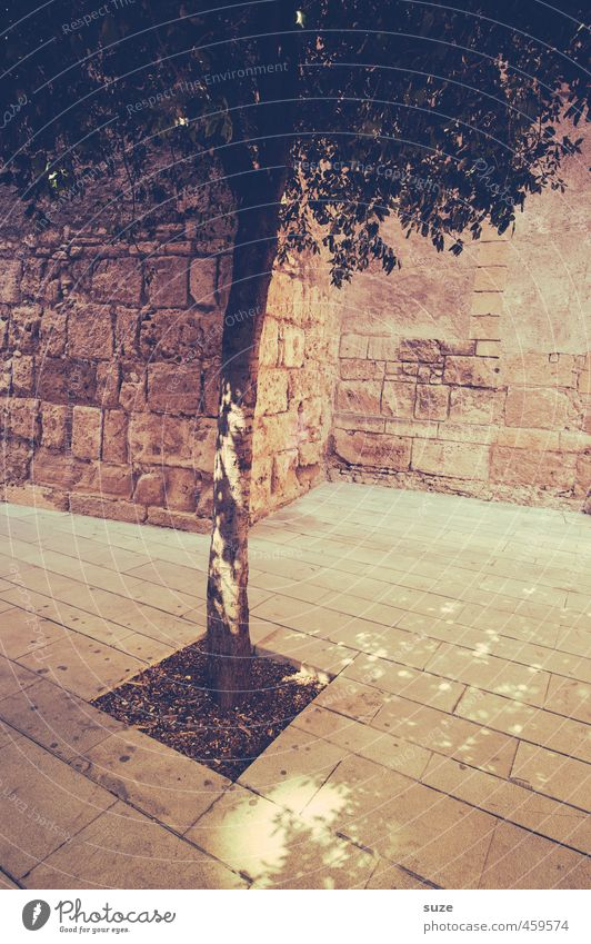 Plant | Captivity Decoration Nature Earth Tree Town Places Wall (barrier) Wall (building) Stone Thin Historic Gloomy Dry Warmth Brown Majorca Graceful Treetop