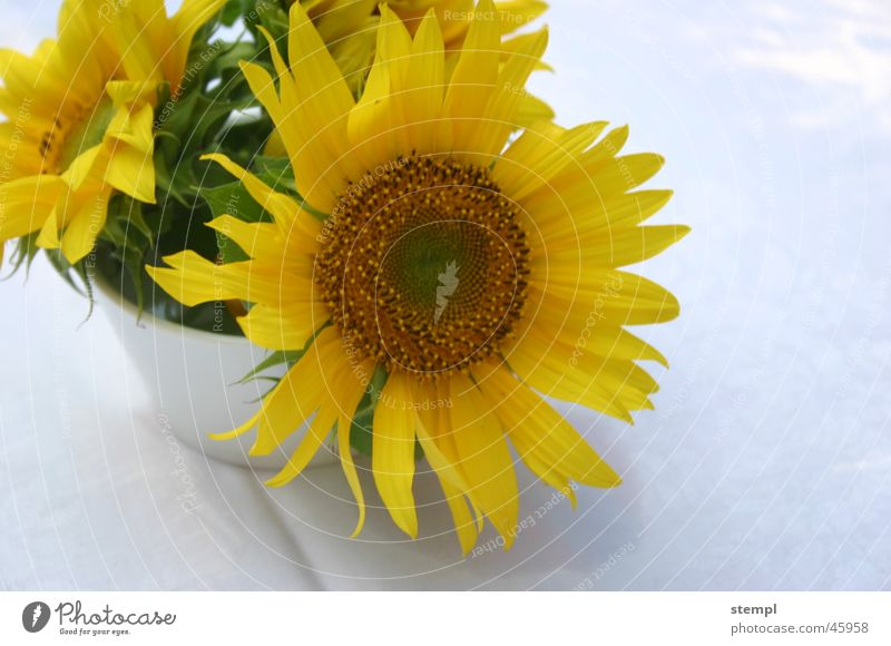 Summer Yellow Sunflower