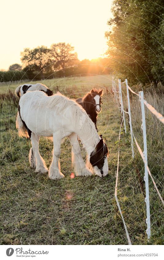 Father and son Summer Beautiful weather Meadow Pasture Animal Pet Horse 3 Pair of animals Animal family Observe To feed Idyll Calm graze Fence Foal Colour photo