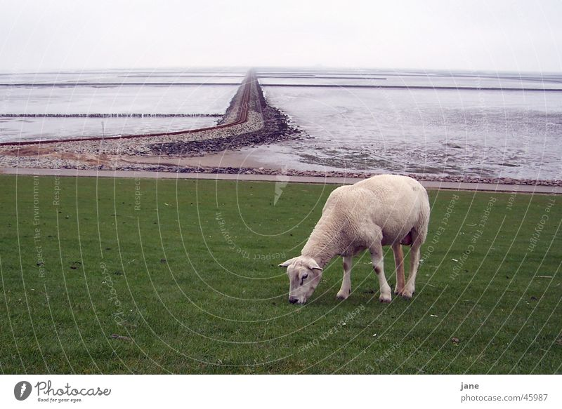 Ocean Vacation & Travel Calm Railroad tracks Sheep North Sea Harmonious Wanderlust Mud flats Low tide Lamb