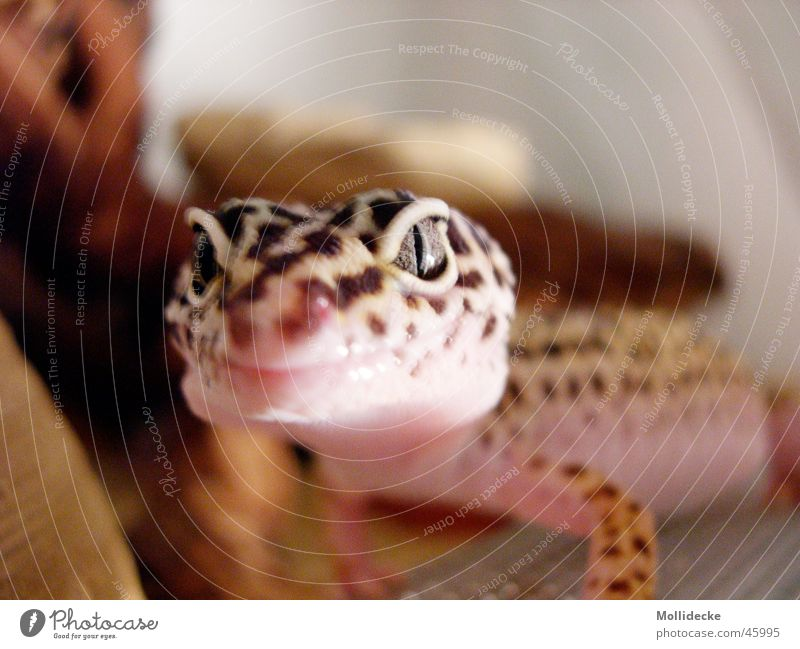 Leopard gecko Panther Gecko Saurians Beige Brown Reptiles Lizards Point Eyes Muzzle