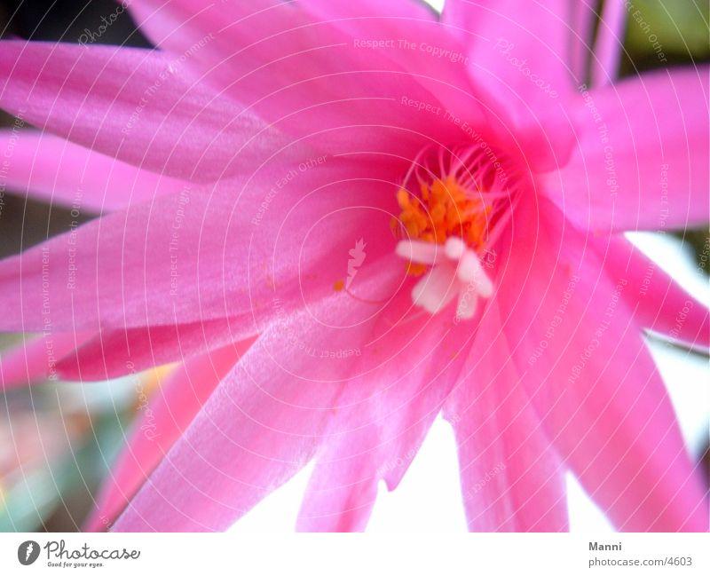 Cactus Cactus flower