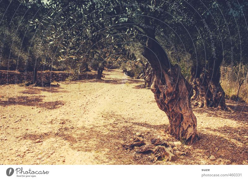 olive grove Leisure and hobbies Vacation & Travel Tourism Summer Summer vacation Environment Nature Landscape Earth Warmth Tree Lanes & trails Gloomy Dry