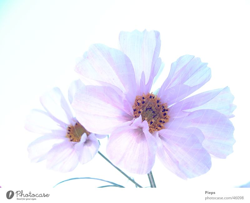 Nature White Flower Plant Summer Calm Life Blossom Garden 2 Elegant Transience Delicate Blossoming Cosmos Cloudless sky