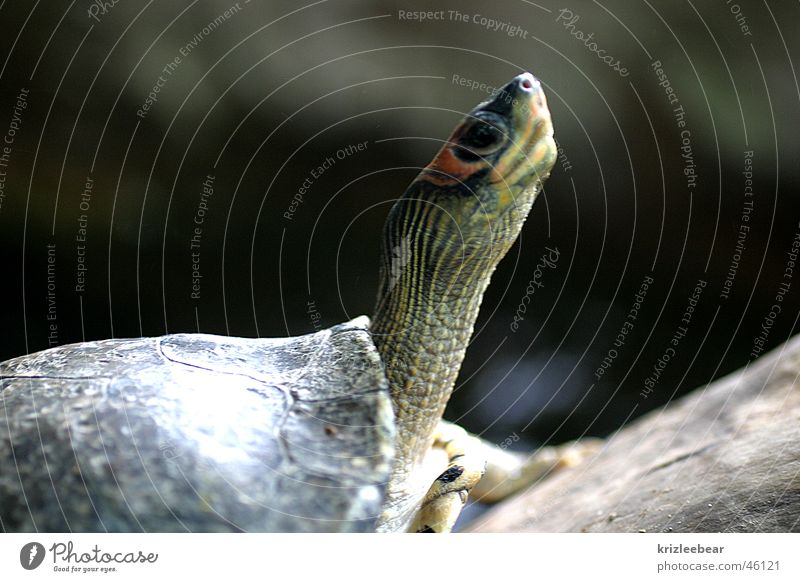 observantly Animal Wild animal Zoo Turtle 1 Watchfulness Curiosity Neck Review overview attentive Safety Shell Colour photo Exterior shot Detail Deserted