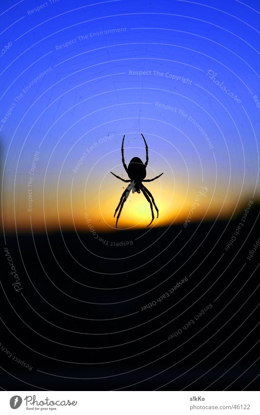 Spider in the Sunset Back-light Sky Net Blue Contrast nice