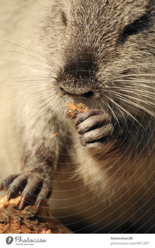 Animal | Nibbling fun Wild animal Animal face Pelt Claw Paw Nutria Mammal Rodent 1 Observe Movement To feed Feeding Looking Exceptional Brash Friendliness Funny
