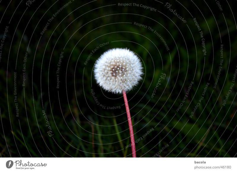 Flower Calm Dandelion Seed