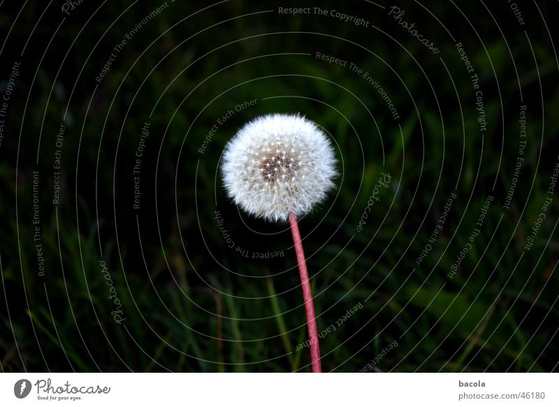 Just don't sneeze now. Dandelion Flower Calm Seed