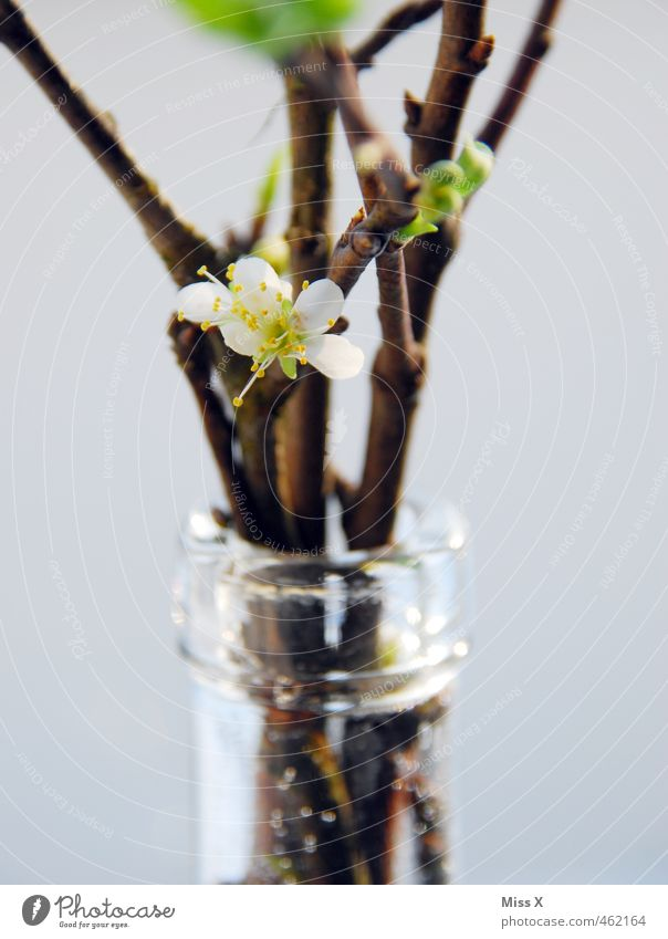 cherry blossom Decoration Spring Blossom Blossoming Fragrance Cherry blossom Branch Twigs and branches Vase Neck of a bottle Bouquet barbara Barbara branch