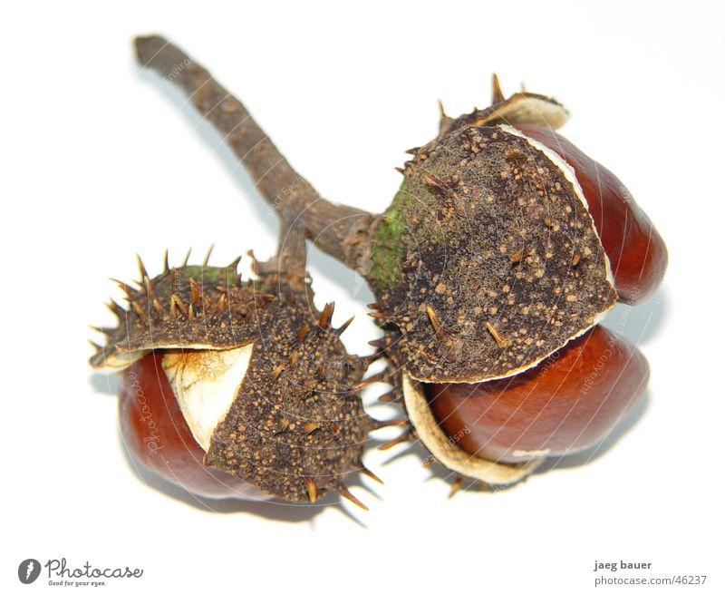 Chestnut in dress Autumn Unfolded Chestnut tree Bowl Thorn Twig Dried Close-up jaeg