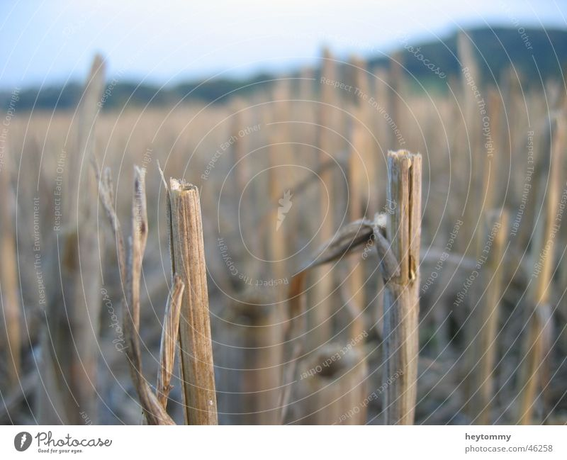 cornfield Cornfield Field Plant Agriculture Dreary Stalk Grass Dark Gloomy Brown Gray Half Grief Loneliness Think Short Exterior shot Aachen Hope Growth