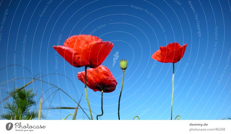 Nature Sun Blue Plant Red Summer Grass Field Growth Stand 4 Wild animal Poppy Hedge