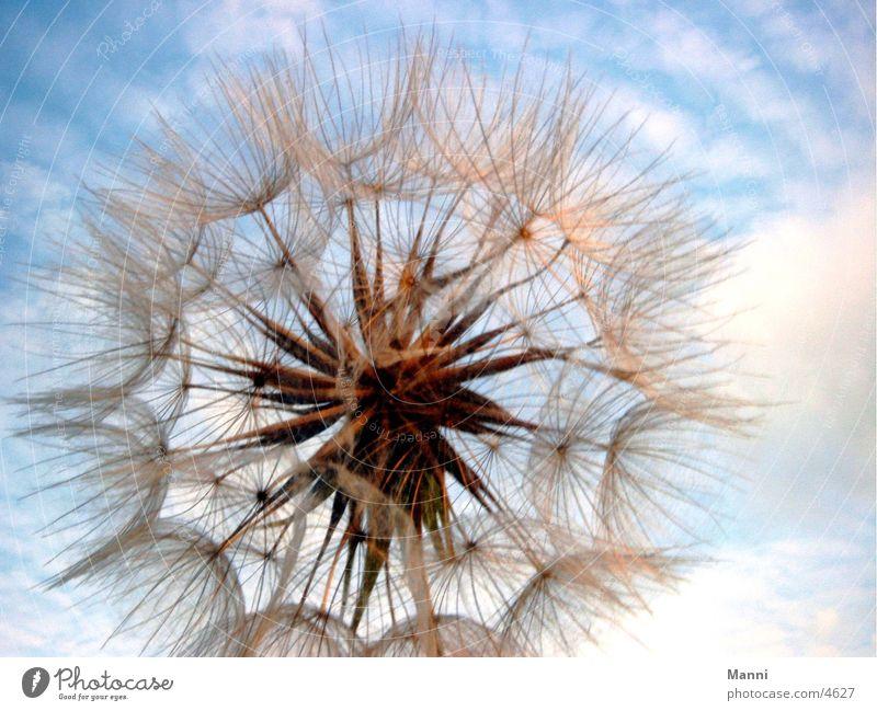 Sky Flower Plant Blossom