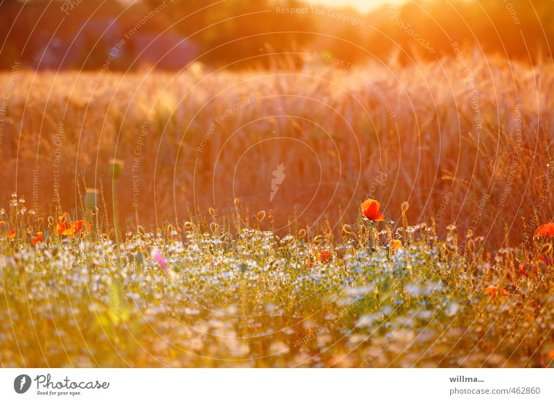Summer evening at the edge of the field with summer flowers Summerflower Nature Sunlight Beautiful weather Poppy Meadow Field Flower meadow Cornfield Warmth