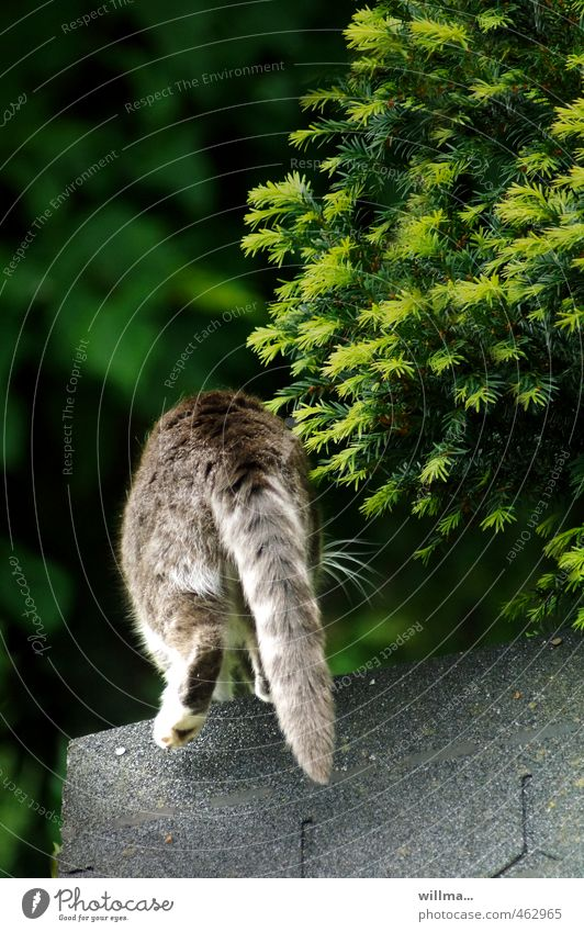 Cat Green White Animal Gray Jump Going Walking Bushes Roof Hind quarters Hide Pet Escape Tails Conifer