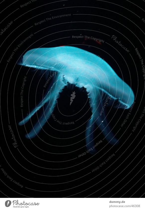 Beautiful Ocean Blue Animal Lamp Life Dangerous Round Living thing Underwater photo Jellyfish Tentacle