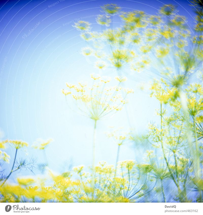 supernova Environment Nature Plant Summer Agricultural crop Dill Dill blossom Garden Fantastic Blue Yellow Colour Colour photo Exterior shot Detail Abstract