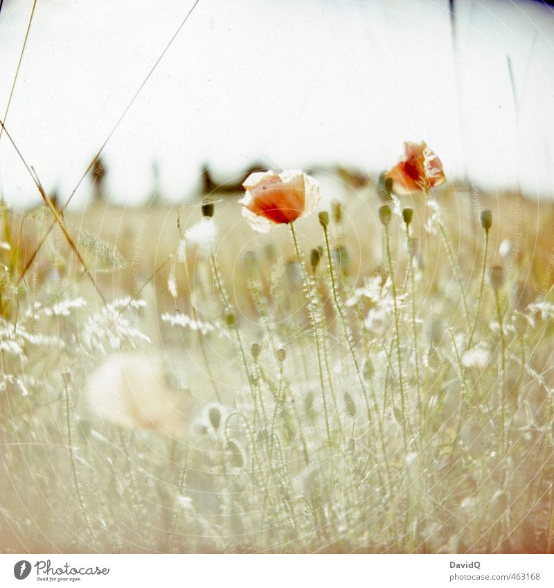 summer day Environment Nature Plant Summer Flower Wild plant Poppy Poppy blossom Field Esthetic Fresh Happy Beautiful Ease Colour photo Exterior shot Close-up