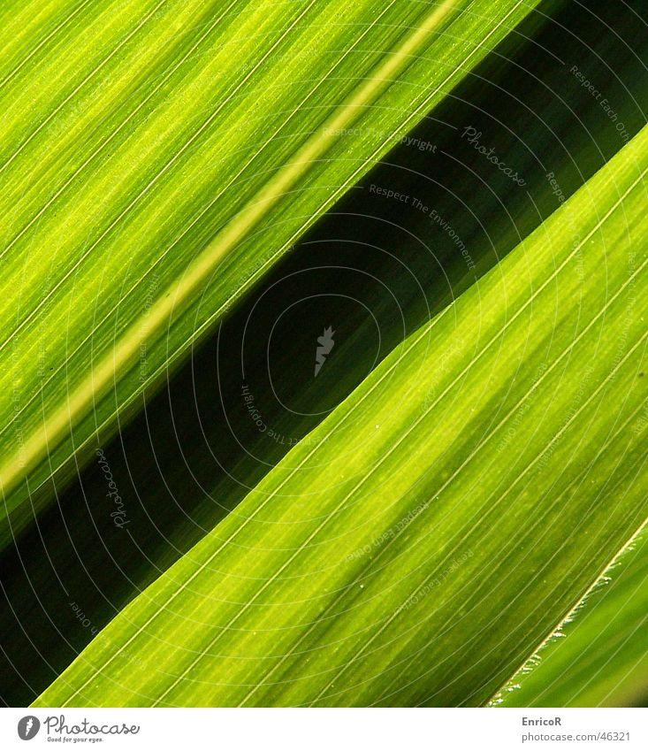 Backlit corn Back-light Green Black Diagonal Maize Sun Shadow