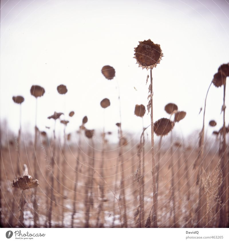 stay until the end Environment Nature Landscape Plant Sky Winter Snow Sunflower Field Old Dark Strong Brown Hope Sadness Grief Death Fatigue Exhaustion