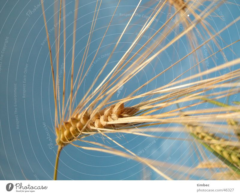Grain in the wind Barley Wheat Plant Nutrition Food Splay Near Field Wind Life Sky Blue Nature natural-coloured Perspective Macro (Extreme close-up) Detail