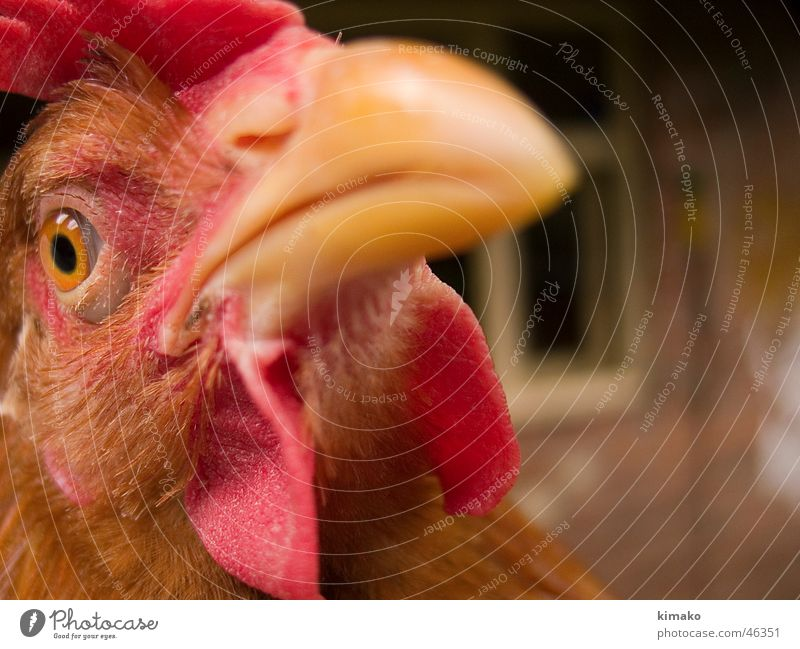 Red Animal Eyes Head Bird Farm Narrow Barn fowl Mexico