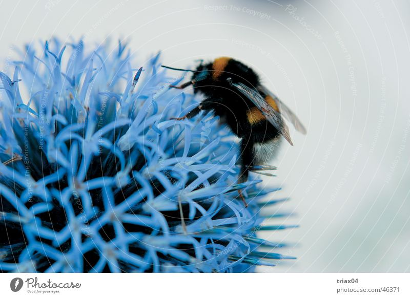Bumblebee hungry Bumble bee Flower Close-up Nature blue thistle Macro (Extreme close-up)
