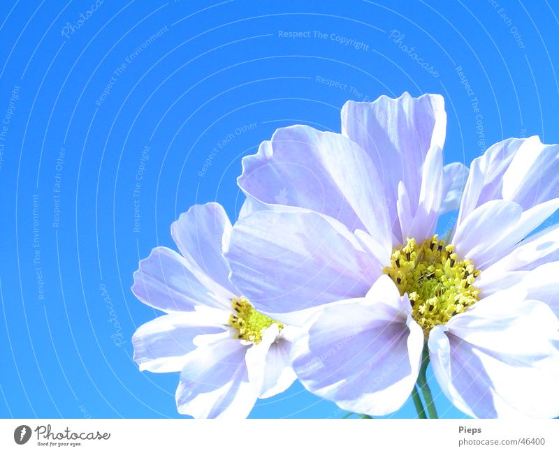 Nature Sky White Flower Plant Summer Blossom Happiness Blossoming Cosmos