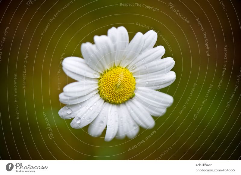Wall flowers Plant Flower Blossom Small Yellow White Daisy Drops of water Regen County Loneliness Blossom leave Central Isolated Image Deserted Copy Space left