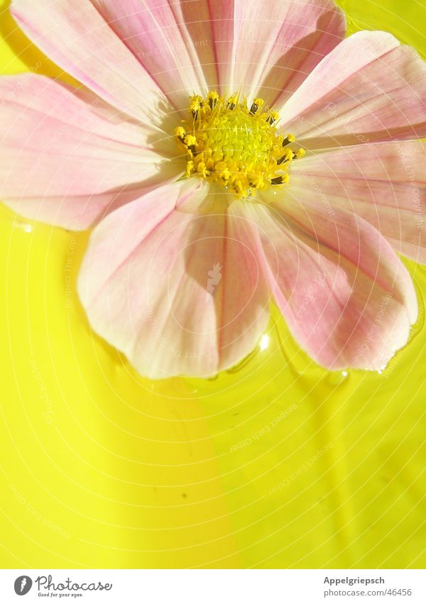 Water Flower Summer Yellow Blossom Pink