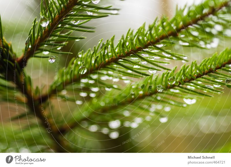 rain Plant Rain Tree Fir tree Coniferous trees Fir needle Forest Wet Thorny Green Drops of water Colour photo Exterior shot Deserted Day Shallow depth of field