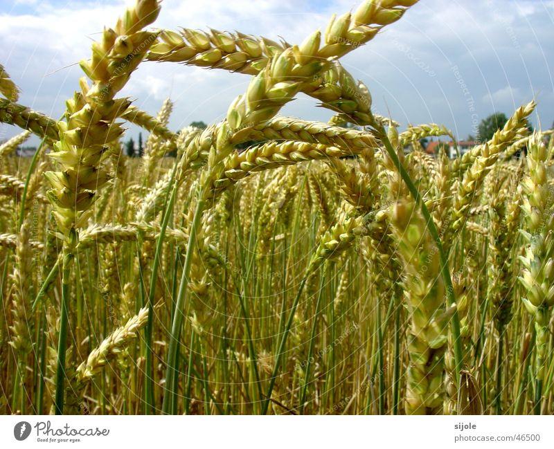 Green Yellow Field Grain Blade of grass Wheat Immature