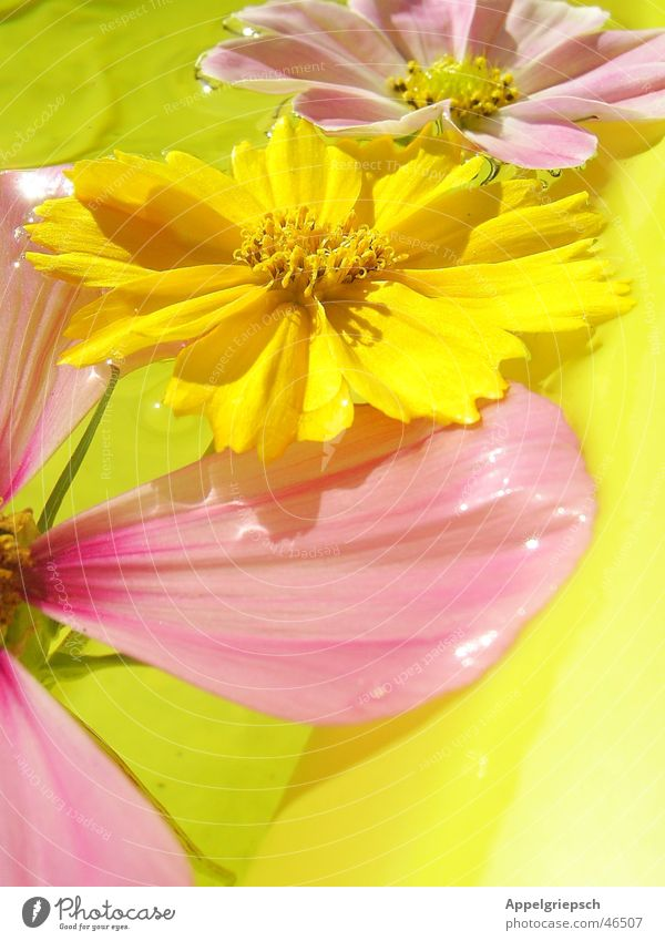 three little flowers 3 Flower Summer Yellow Pink Blossom Water Sun