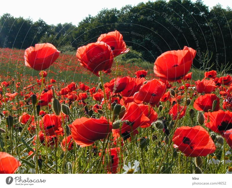 poppies Red Field Multicoloured