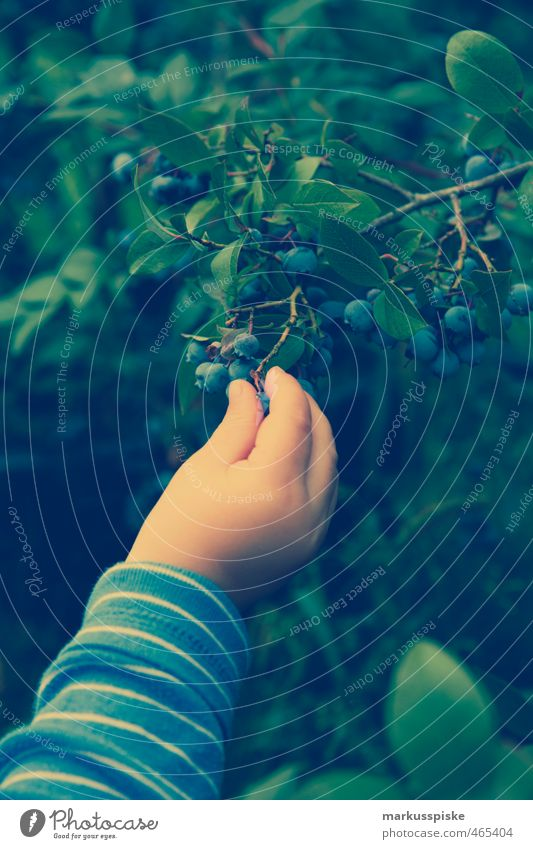 child picking blueberries Food Fruit Blueberry blackberries minor berry wild berry tick berry cranberry Vaccinium myrtillus hay berry Eating Garden Masculine