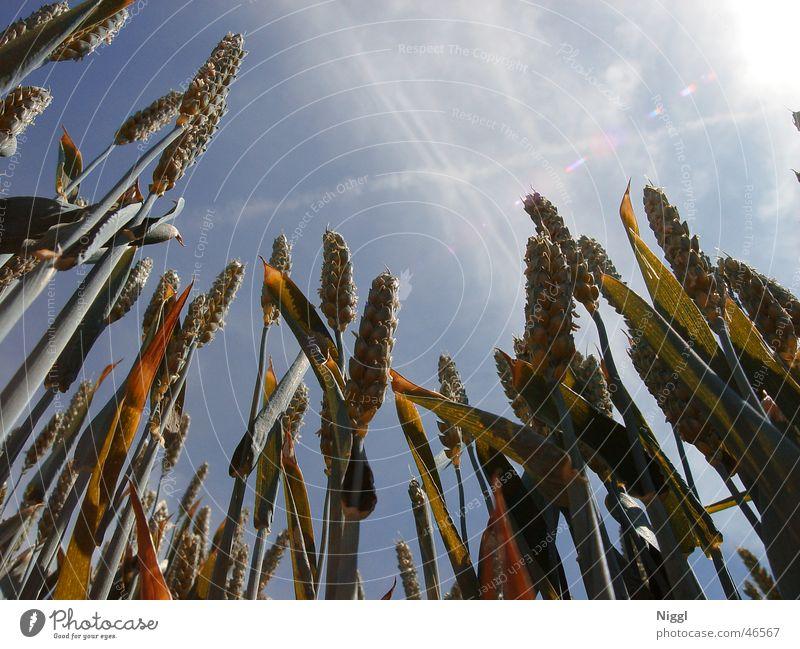 Sky Blue Plant Field Grain Wheat Ear of corn Flour Crops