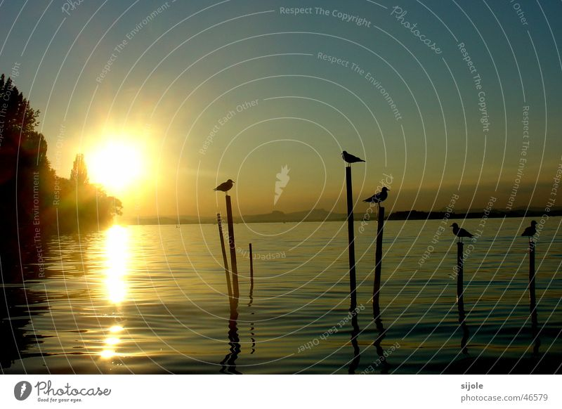 Birds in the sunshine Sun Lake Sunset Reichenau island Summer Yellow Lake Constance Pole seagulls Island Sky Blue