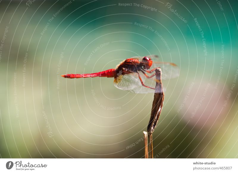 Ready for takeoff Dragonfly Dragonfly wings 1 Animal Red Landing Airplane takeoff Fly Stop Intermediate station Break Calm Insect Wing Pond Clever