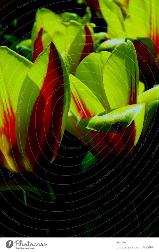tulips Tulip Yellow Green Red Flower Garden Bed (Horticulture)