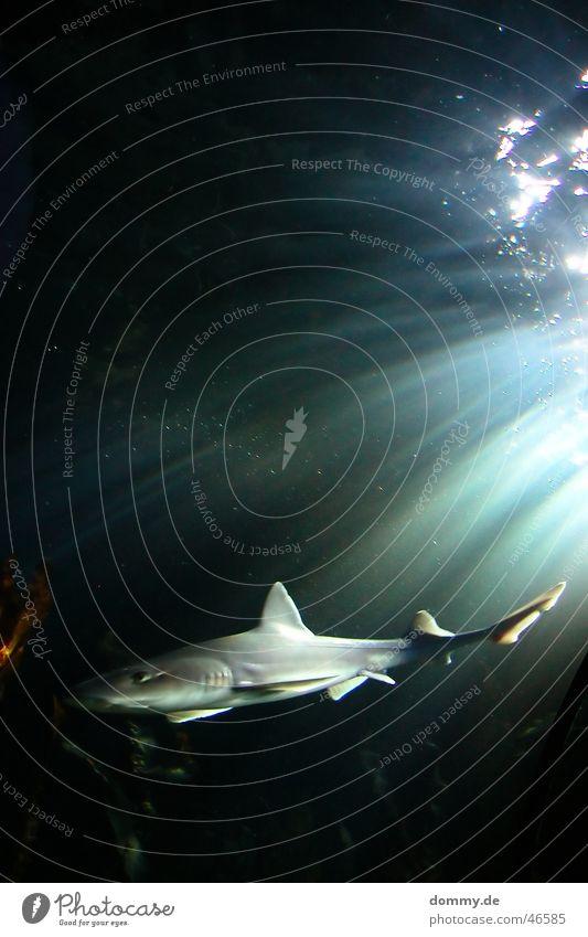 Water Green Black Eyes Life Gray Swimming & Bathing Dangerous Threat Living thing Radiation Tails King Water wings Shark