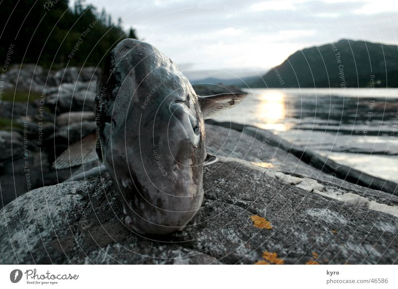 just the happy fish Near Norway Tree Fishing (Angle) Sunset Irony Eyes Water Fjord Water wings Mountain Rock Stone Coast Looking Nutrition Funny bizarre