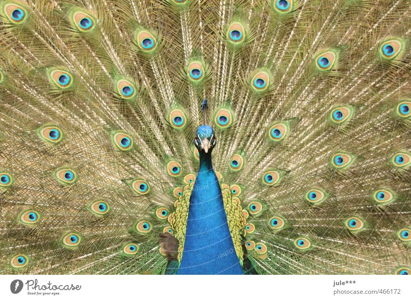 Look me in the eye, little one. Animal Pigeon Zoo Peacock Peacock feather 1 Rutting season Vacation & Travel Esthetic Exotic Blue Multicoloured Yellow Gold