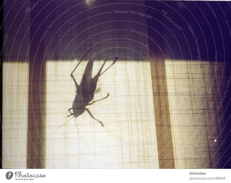 Giant grasshopper Animal Insect Locust Shadow