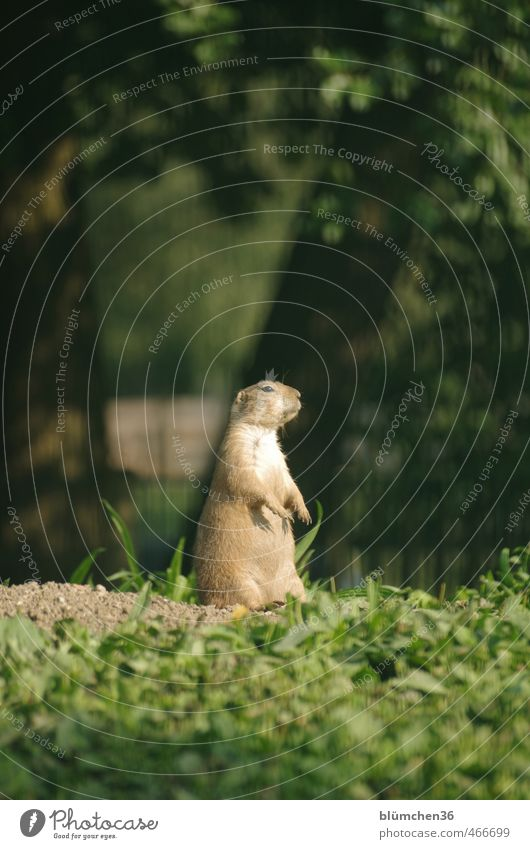 Where's the changing of the guard? Animal Wild animal Animal face Pelt Paw Prairie dog Mammal Rodent Ground squirrel 1 Observe Listening Stand Small Natural