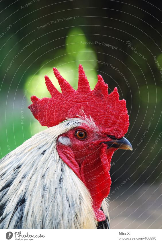 Looks red Animal Farm animal Bird 1 Looking Red Rooster Cockscomb Barn fowl Free-range rearing Keeping of animals Agriculture Poultry farm Pride Colour photo
