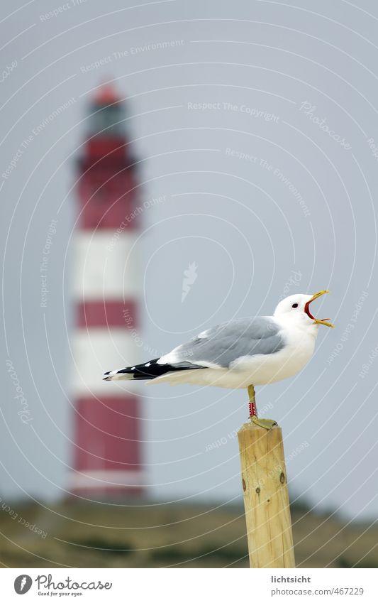 """Laaaah!"" Nature Landscape Cloudless sky Spring Summer Autumn Beautiful weather Hill Coast North Sea Ocean Island Lighthouse Bird 1 Animal Scream Amrum Pole"